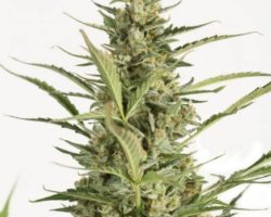DINAFEM – Critical Jack autoflowering