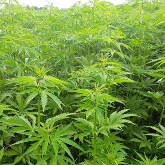 Terpeny – tajemniczy składnik marihuany