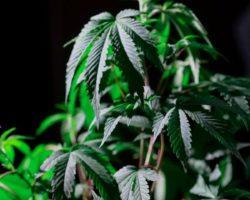 """Nasiona marihuany Sagarmatha – """"zieleń"""" dla koneserów"""