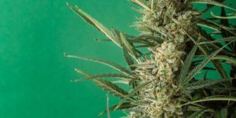 Nasiona marihuany Sweet Seeds – powiew świeżości na globalnym rynku konopnym