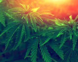 Nasiona marihuany Dutch Passion – kiedyś pionierskie, dziś kultowe