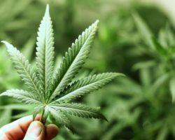 Nasiona marihuany Sagarmatha – na piątkę z plusem