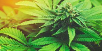 Nasiona marihuany White Label – poletko doświadczalne, które odnosi sukcesy